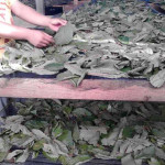 selecting dried leaves